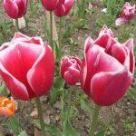 Фото 14: Сорт тюльпанов Lustige Witwe