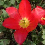 Фото 15: Сорт тюльпанов Madame Curie