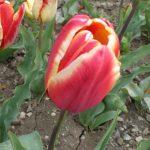 Фото 16: Сорт тюльпанов Madame Spoors