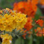 Фото 89: Primula bulleyana