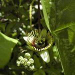 Фото 14: Passiflora Сoriacea