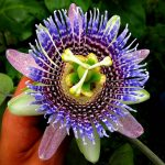 Фото 19: Пассифлора Ligularis