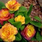 Фото 152: Primula 'Belarina Nectarine'