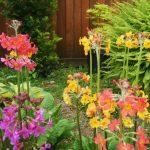 Фото 85: Primula bulleesiana