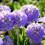 Фото 29: Primula denticulata Cashmeriana