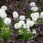 Фото 28: Primula denticulata alba