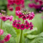 Фото 35: Primula japonica Miller's Crimson