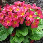 Фото 55: Primula juliae Riga-6