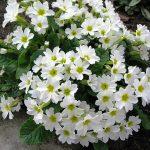 Фото 56: Primula juliae Sneeuwwitje