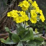 Фото 109: Primula kewensis