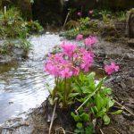 Фото 74: Primula rosea около воды