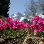 Фото 78: Primula rosea Royle