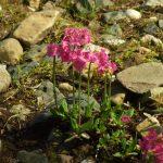 Фото 77: Примула розовая на альпийской горке