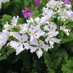 Фото 70: Primula sieboldii Aoyagizome