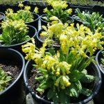 Фото 59: Primula veris Auslese