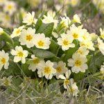 Фото 15: Primula vulgaris
