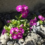Фото 24: Primula pubescens Carmen