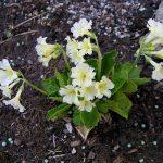 Фото 26: Primula Pubescens White