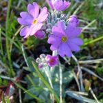 Фото 96: Primula farinosa