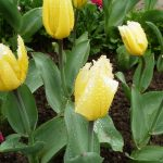 Фото 25: Сорт тюльпанов Sweetheart