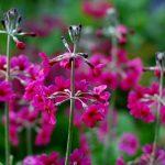 Фото 83: Primula beesiana