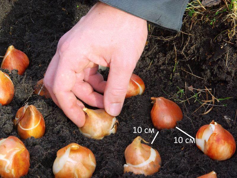 Расстояние между луковицами при рассадке тюльпанов