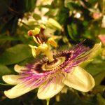 Фото 41: Желтая пассифлора