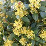 Фото 40: Цветение самшита