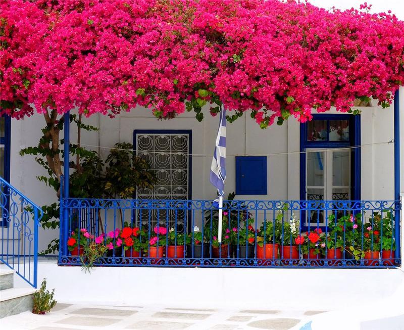 Шикарные цветы бугенвиллеи