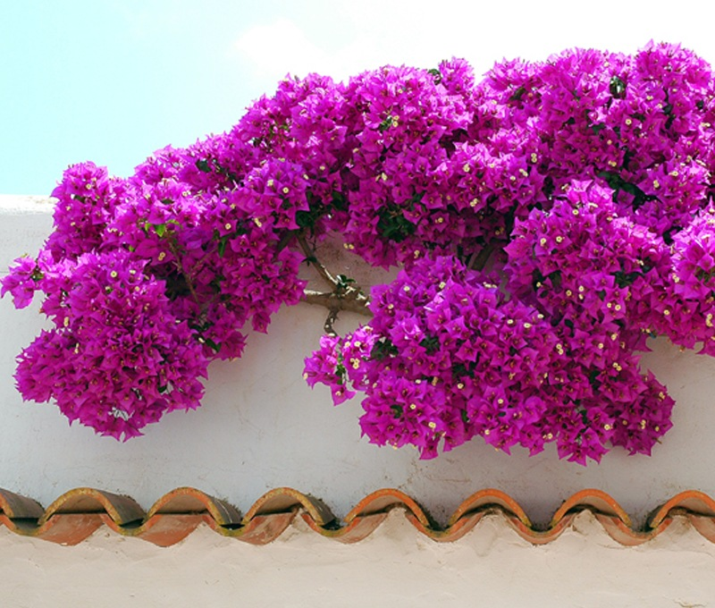 Фото 29: Цветущая Бугенвиллея