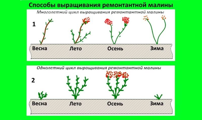 Цикл выращивания ремонтантной малины