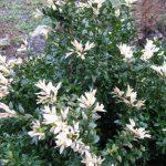 Фото 138: Цветение самшита
