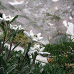 Фото 44: Альпийский эдельвейс