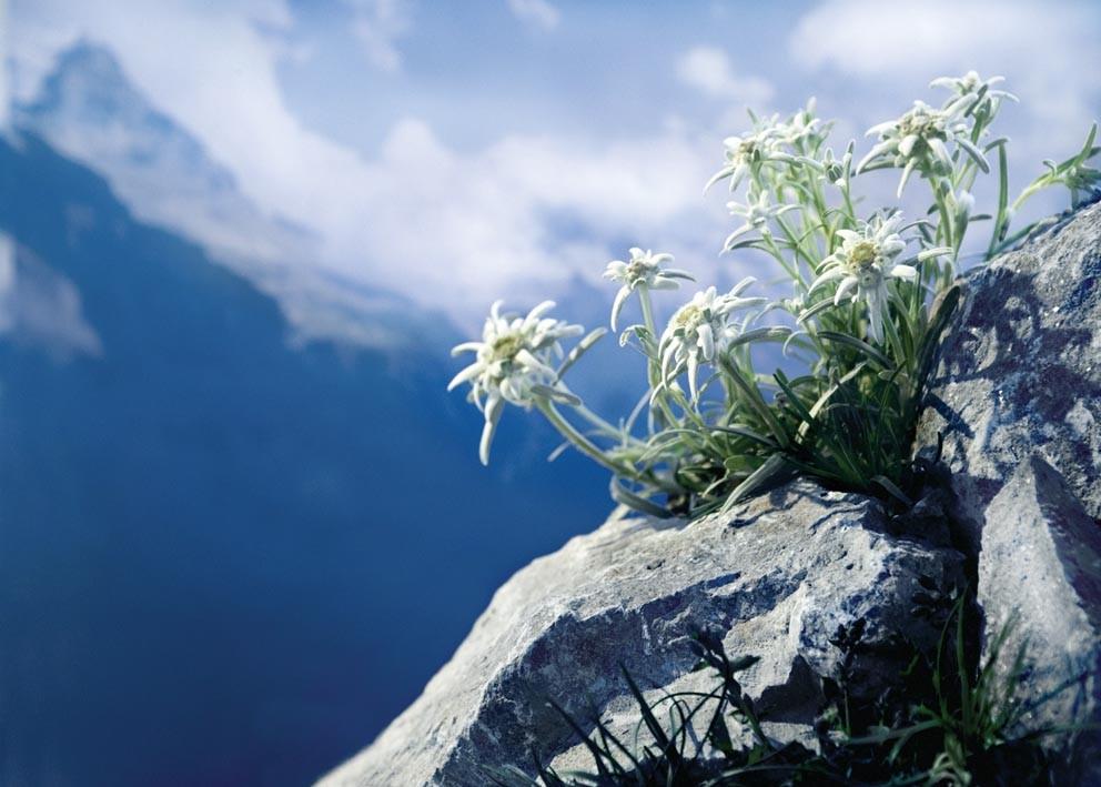 Куст Эдельвейса на вершине скалы