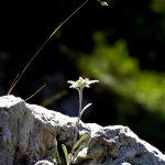 Фото 50: Эдельвейс среди камней