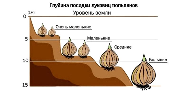 Глубина посадки луковиц тюльпанов
