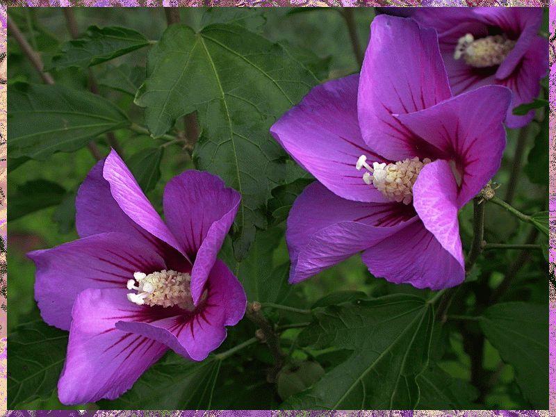 Фиолетового оттенка китайская роза