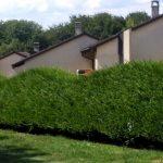 Фото 61: Живая изгородь из вечнозеленого самшита