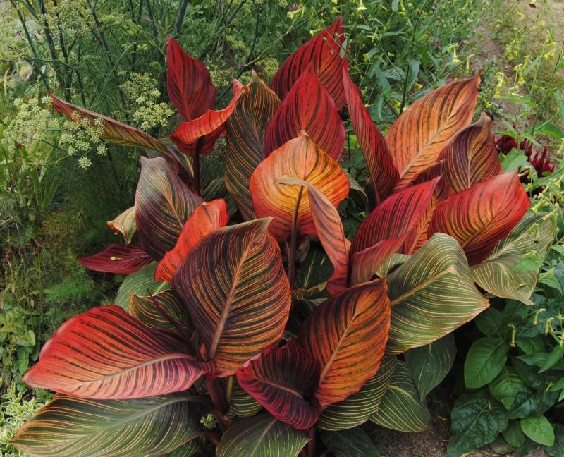 Фото 22: Листья канны Тропиканы