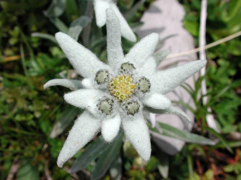 Цветок эдельвейс вблизи