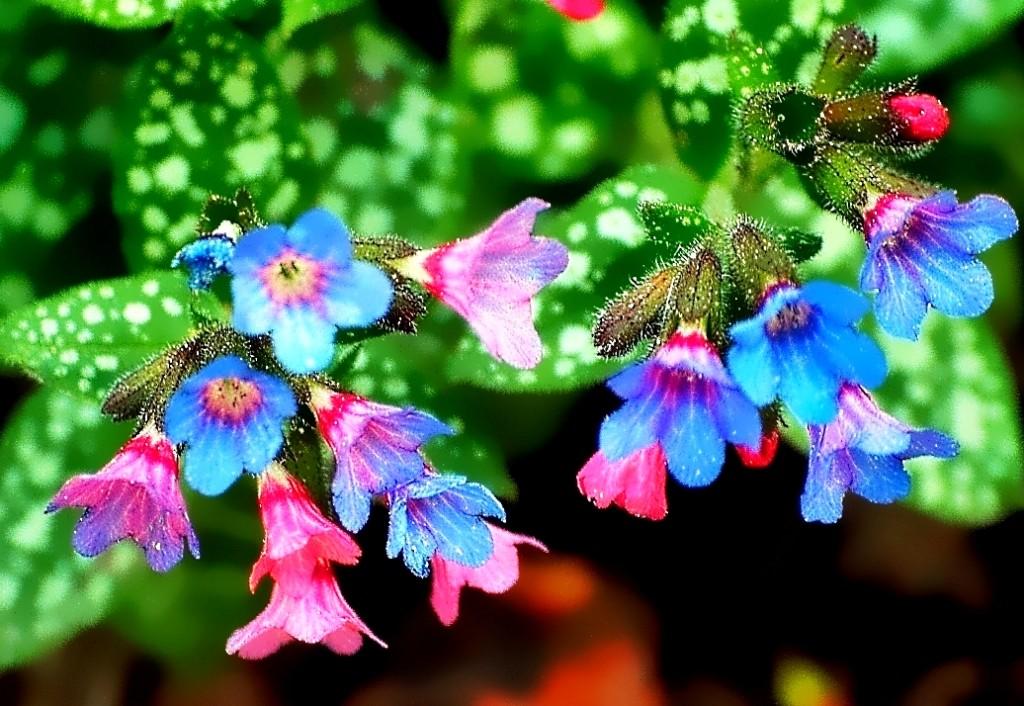 Красивые цветы медуницы