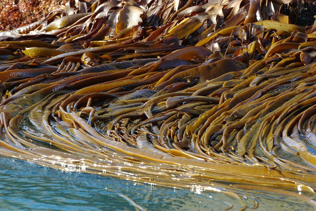 Вид морской капусты без приготовления