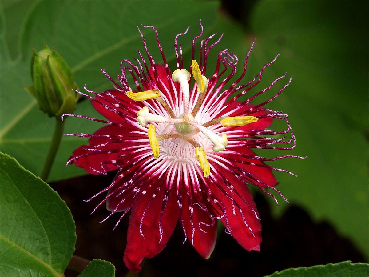 passiflora uho (27)