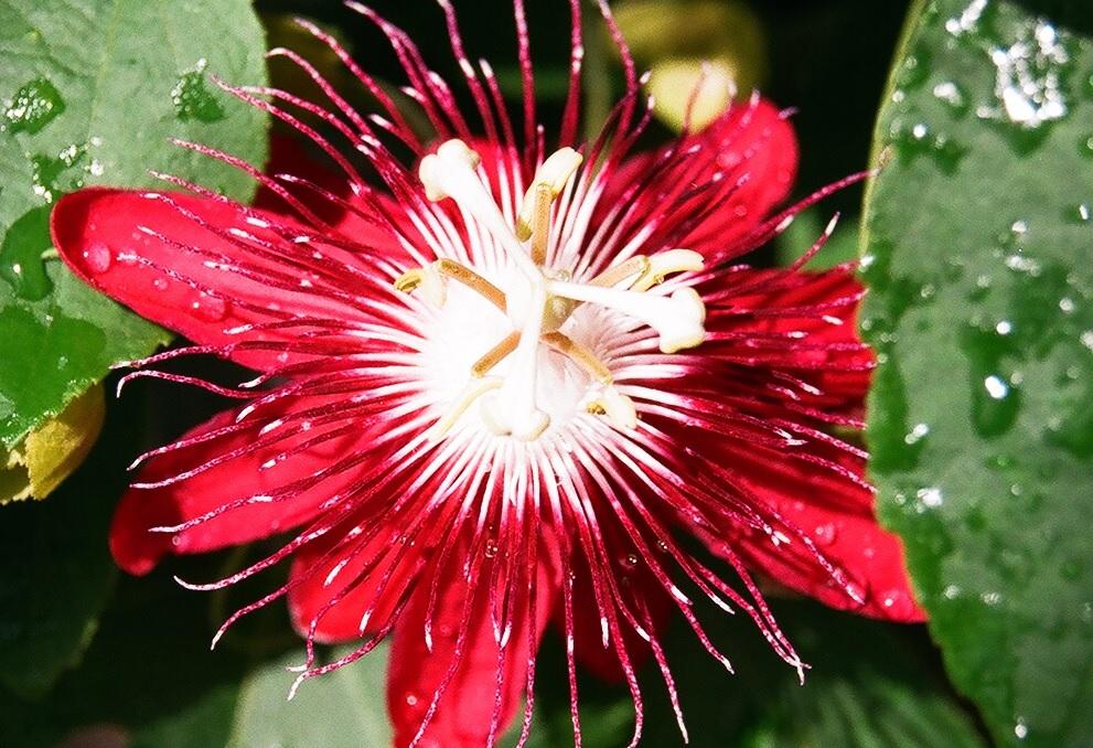 Красивая красная пассифлора в саду