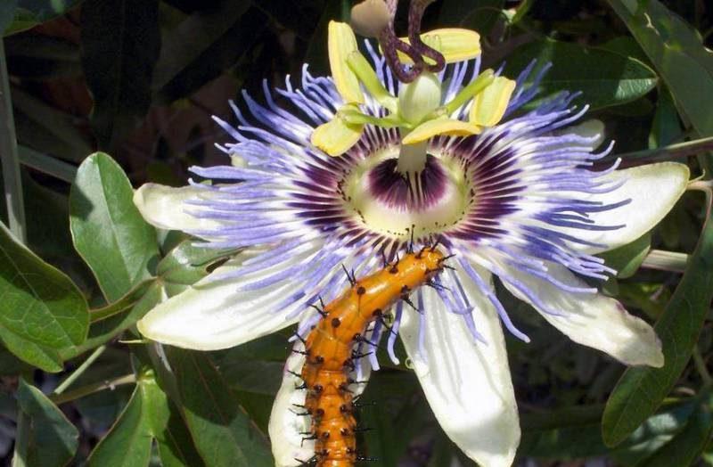 Привлекательный запах пассифлоры для насекомых
