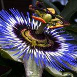 Фото 35: Голубая пассифлора