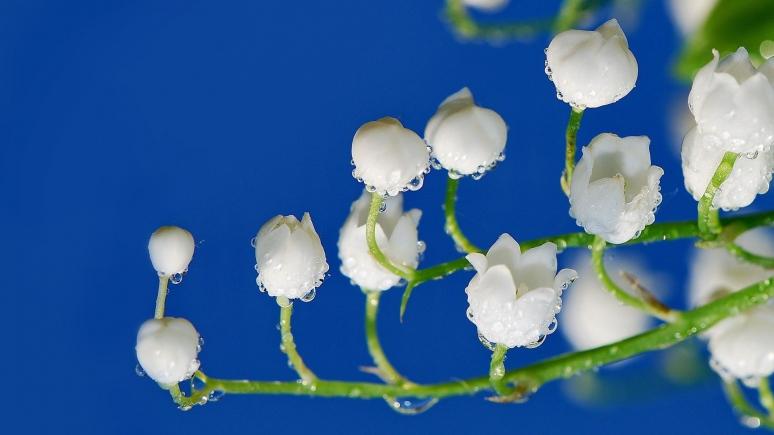 Ландыш - самый популярный первоцвет в лесу