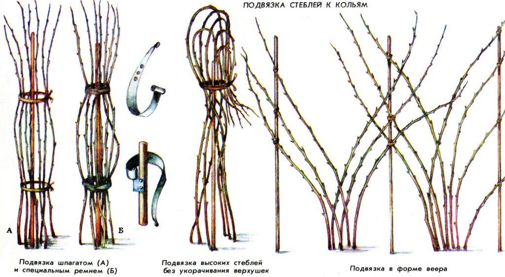 Подвязка стеблей малины