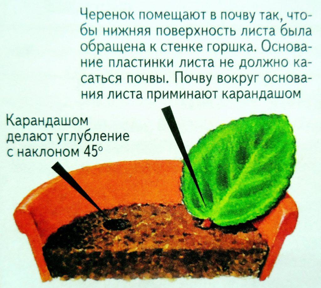 Посадка листового черенка
