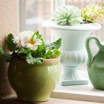 Фото 138: Выращивание примулы на окне